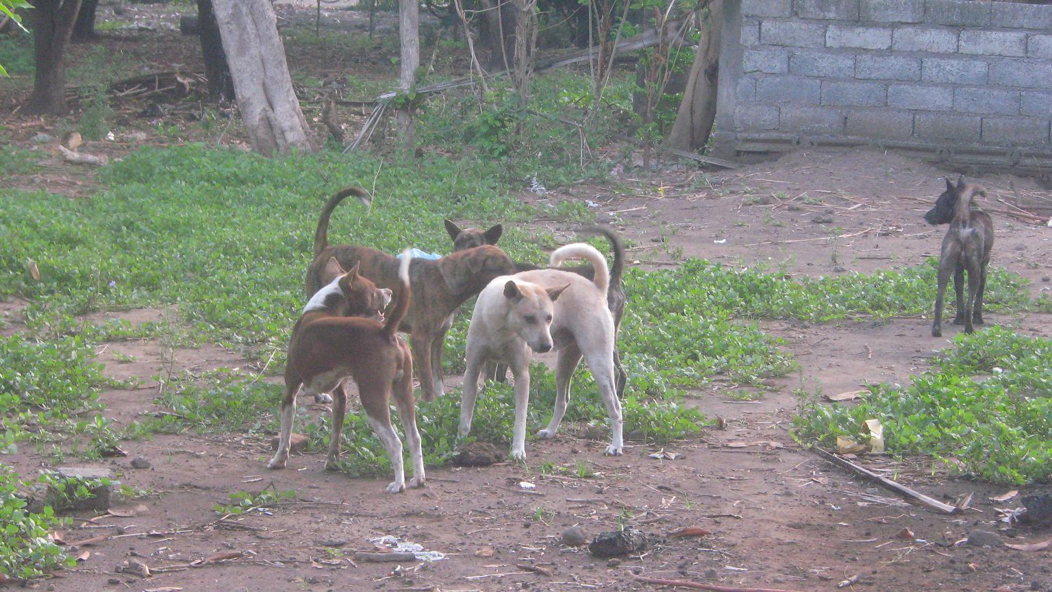 Pack of Rabid Dogs in Bali, Indonesia - Stop Having a ...