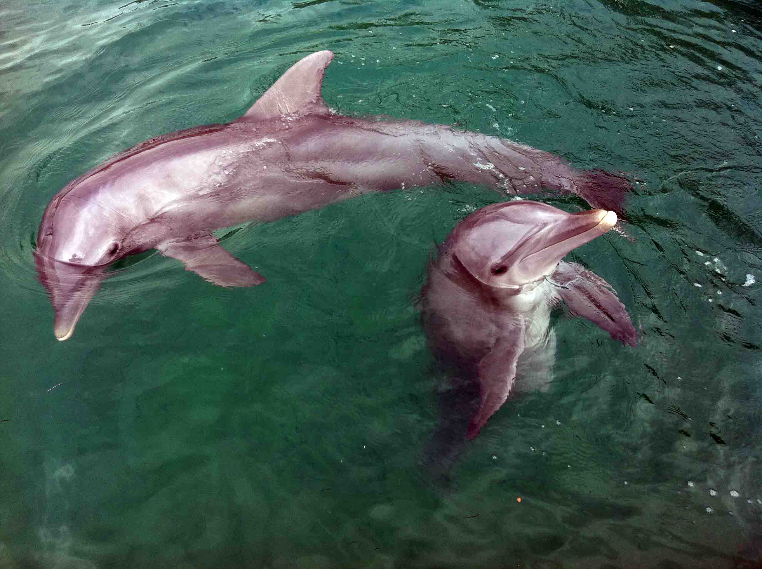 Swimming With Dolphins at UNEXSO, Grand Bahama