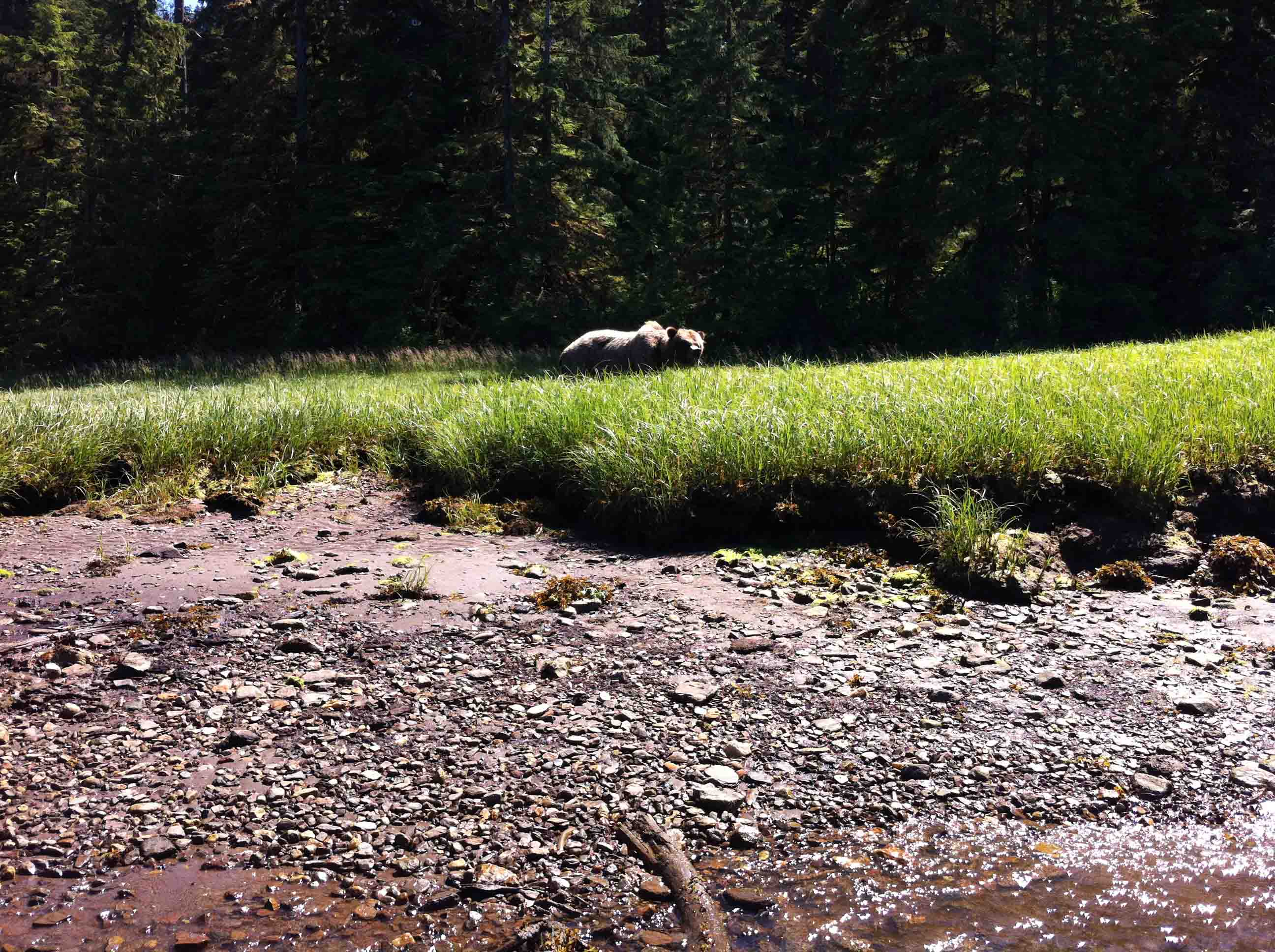 Grizzly Bear Encounter in Khutzeymateen Inlet, BC