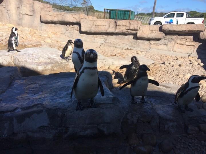penguins_samrec_port_elizabeth