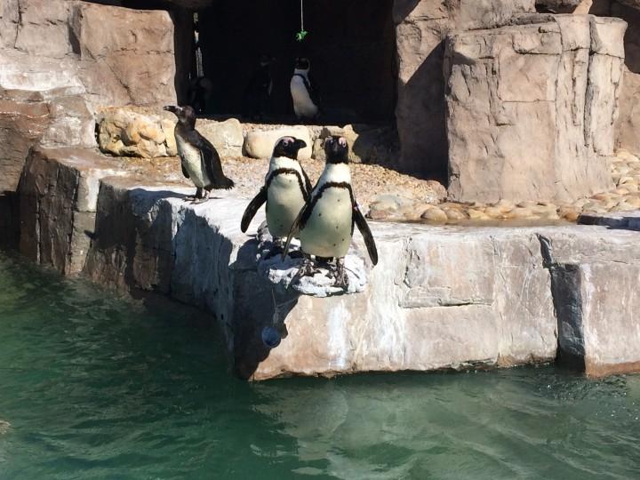 samrec_african_penguins_port_elizabeth