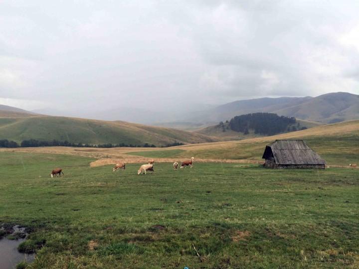 cows_grazing_zlatibor_serbia