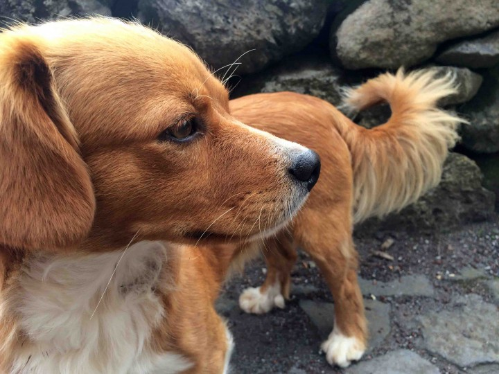 cute_dog_sao_jorge_azores