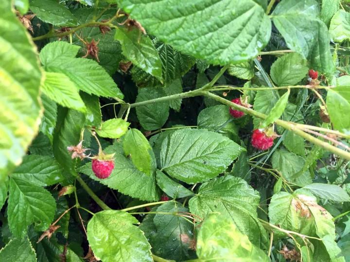 fresh_raspberries_serbia